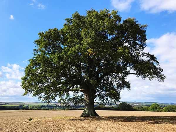 Legno rovere proviene dalla quercia - Cenerelli Parquet